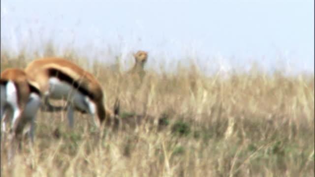 Cheetah (Acinonyx jubatus) watches Thomson's gazelles (Eudorcus thomsonii) in heat haze, Masai Mara, Kenya