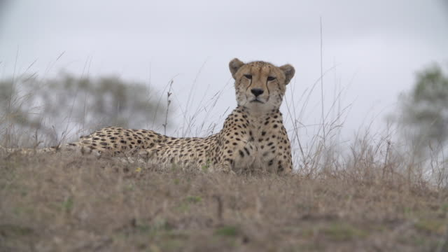 ms la r/f cheetah watching for prey / kruger national park, mpumalanga, south africa - provinz mpumalanga stock-videos und b-roll-filmmaterial