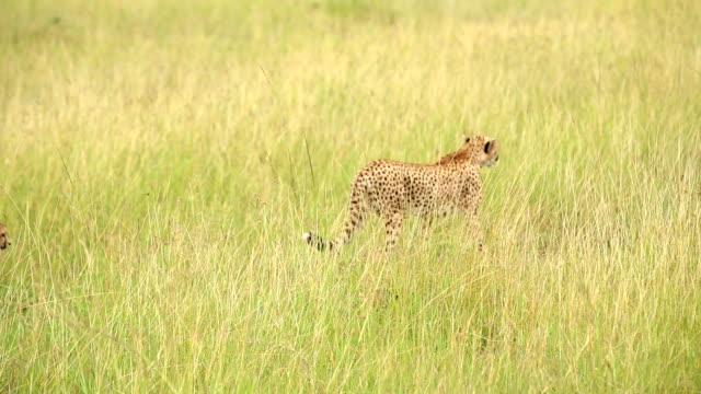 ghepardo guardando per predare al selvaggio - area selvatica video stock e b–roll