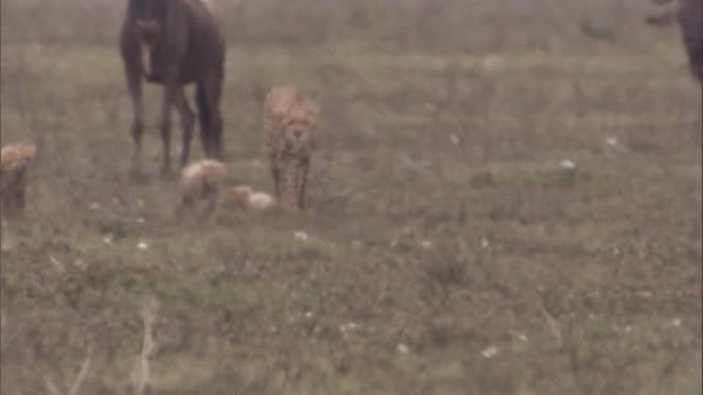 Cheetah with cubs stalks through herd of wildebeest, adult cheetah then sprints across savanna. Available in HD.