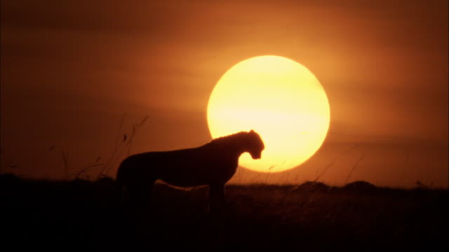 Cheetah with Sunset