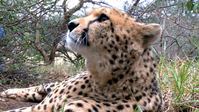Cheetah yawning and rolling over playfully