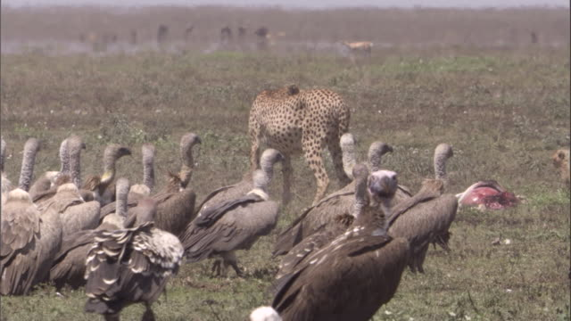 cheetahs and vultures on savannah near kill. available in hd. - totes tier stock-videos und b-roll-filmmaterial
