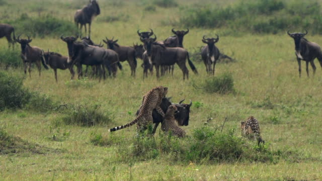 cheetahs and wildebeest kill - hunting stock videos & royalty-free footage
