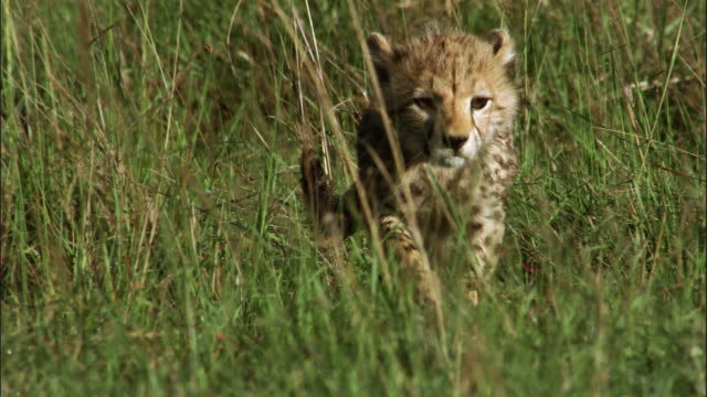 cheetahs are playing together - group of animals stock videos & royalty-free footage