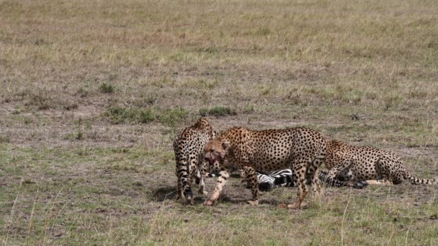 Cheetahs  feeds on zebra , Maasai Mara, Kenya, Africa