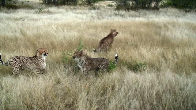 WS Cheetahs fighting over food / Khorixas, Namibia