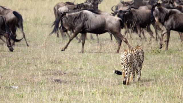cheetahs hunting at wild - antilope stock-videos und b-roll-filmmaterial