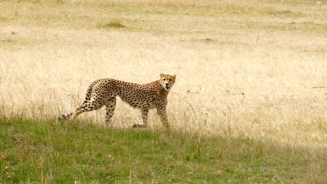 Cheetahs Hunting / preying