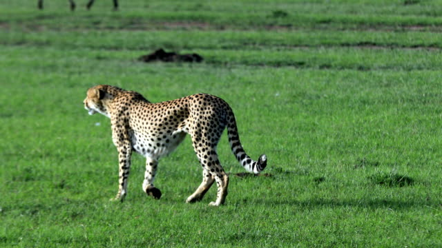 cheetahs hunting / preying - cheetah stock videos and b-roll footage