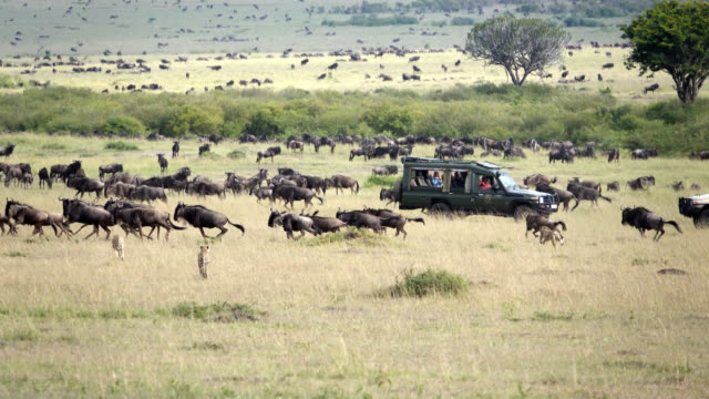 cheetahs hunting wildebeest at wild - kenya stock videos & royalty-free footage