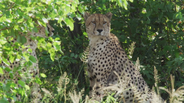 cheetahs in kruger national park / south africa - mpumalanga province stock videos and b-roll footage