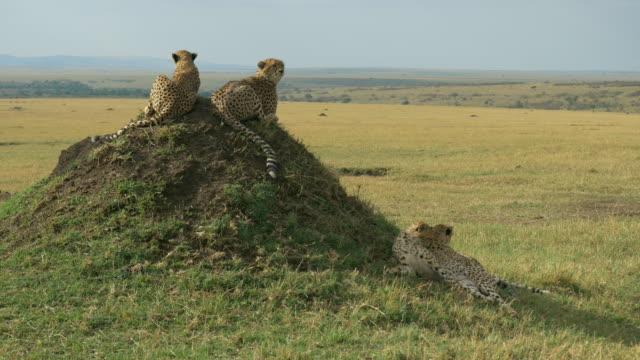 ・チーターズのマサイマラ,ケニア