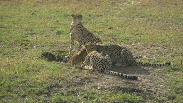 Cheetahs in the Masai Mara, Kenya