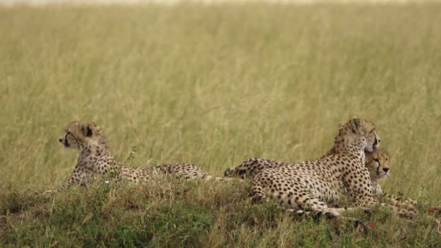 cheetahs lick each other  (acinonyx jubatus) - other stock videos and b-roll footage