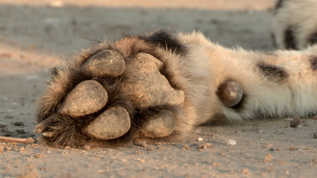 A cheetah's non-retractable claws protrude from its furry paw.