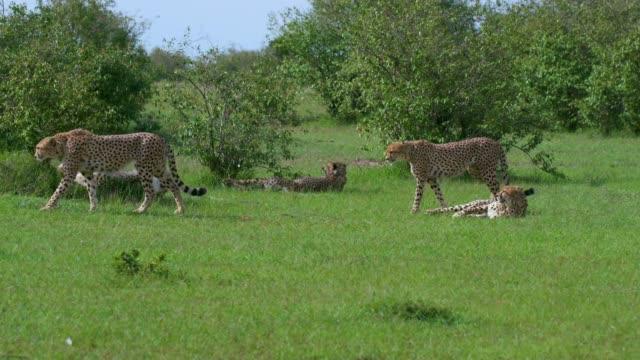 5 cheetahs relaxing, maasai mara, kenya, africa - number 5 stock videos & royalty-free footage