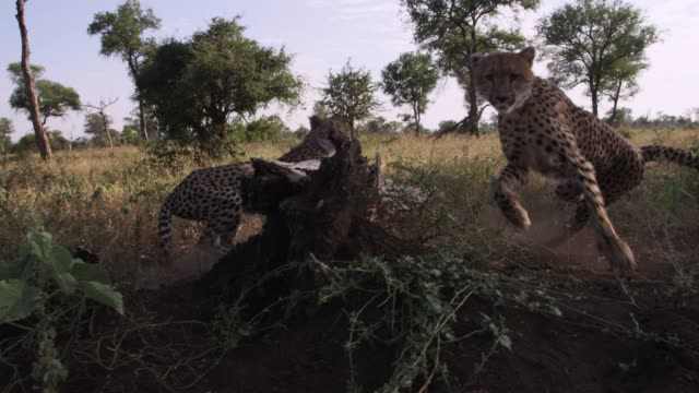 cheetahs run away on savannah, zimbabwe - flüchten stock-videos und b-roll-filmmaterial