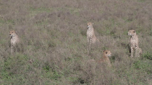 cheetahs sit and watch