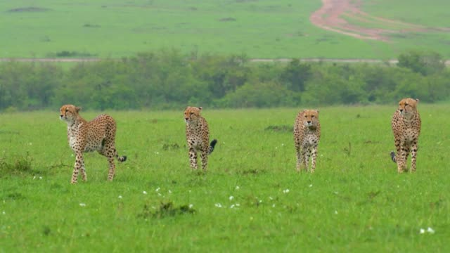 cheetahs walking in group, maasai mara, kenya, africa - 絶滅の恐れのある種点の映像素材/bロール