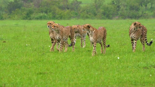 5 cheetahs walking in group, maasai mara, kenya, africa - 絶滅の恐れのある種点の映像素材/bロール