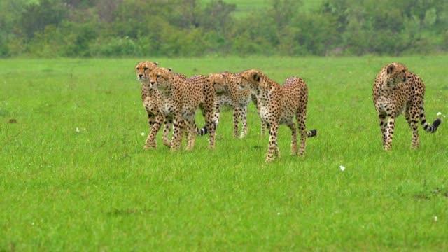 5 cheetahs walking in group, maasai mara, kenya, africa - threatened species stock videos & royalty-free footage