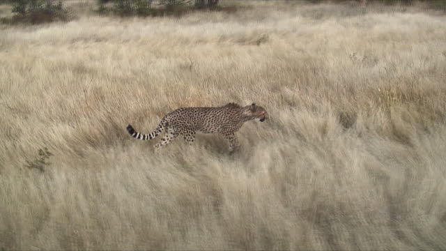 WS TS SIDE POV Cheetahs walking through grass / Khorixas, Namibia