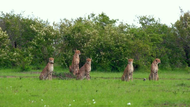 5 cheetahs watching from high ground, maasai mara, kenya, africa - group of animals stock videos & royalty-free footage