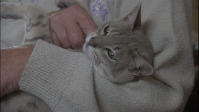 a cheetoh relaxes in the arms of a woman who pets it. - 飼い猫点の映像素材/bロール