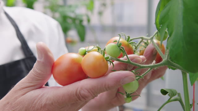 chef at examining tomatoes in organic garden - organic farm stock videos & royalty-free footage