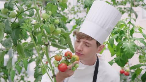 vidéos et rushes de chef à l'odeur des tomates non mûres dans la serre chaude - sentir