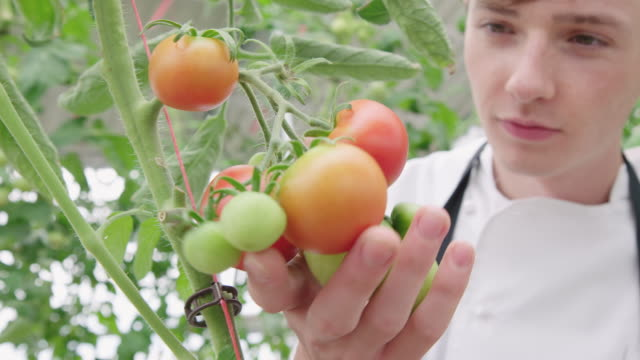 chef examining tomatoes in hotel organic farm - chef's hat stock videos & royalty-free footage