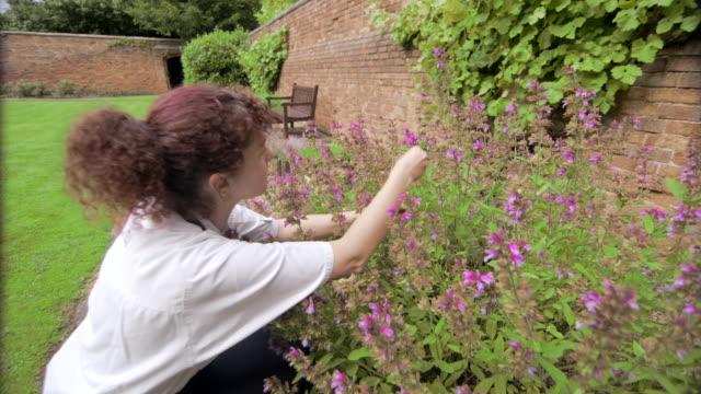 Chef hand picks fresh sage from herb garden