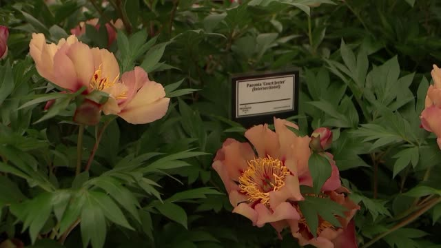 chelsea flower show 2018: displays; england: london: chelsea: int 'heliconia johnson beharry vc' sign / flowers and fruits on display / 'paeonia... - festival dei fiori di chelsea video stock e b–roll