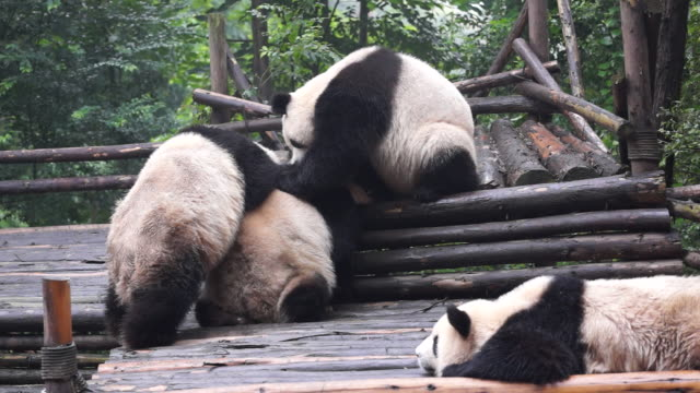 chengdu research base of giant panda breeding founded in 1987 is a nonprofit research and breeding facility for giant pandas and the world's only... - 成都点の映像素材/bロール