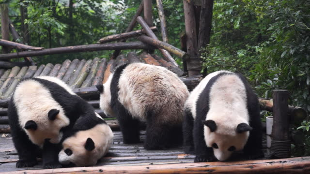 vídeos y material grabado en eventos de stock de chengdu research base of giant panda breeding founded in 1987 is a nonprofit research and breeding facility for giant pandas and the world's only... - panda animal