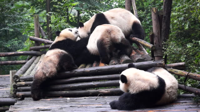 vídeos de stock, filmes e b-roll de chengdu research base of giant panda breeding founded in 1987 is a nonprofit research and breeding facility for giant pandas and the world's only... - jardim zoológico