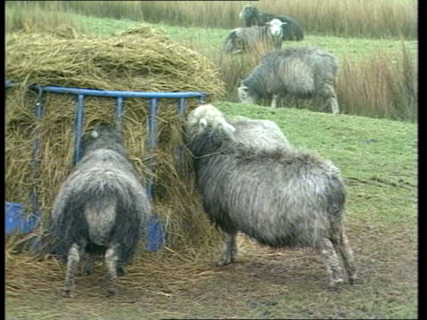 chernobyl disaster second anniversary england cumbria ext tms sheep grazing in field bv sheep eating hay from stack ls sellafield nuclear power... - hay stack stock videos & royalty-free footage