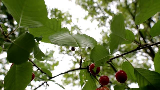 vídeos de stock, filmes e b-roll de cerejas que penduram de uma filial com folhas verdes - pegando frutos
