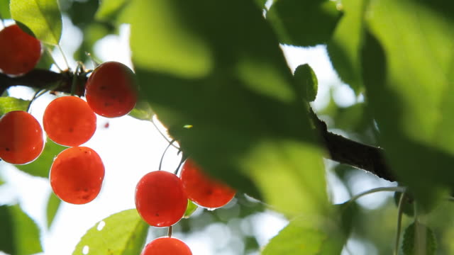 HD DOLLY: Cherries On A Tree