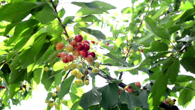 montage: cherries on the branch - fruit tree stock videos & royalty-free footage