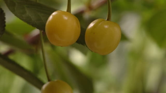 T/L Cherries (Prunus sp.) CU ripening, United Kingdom