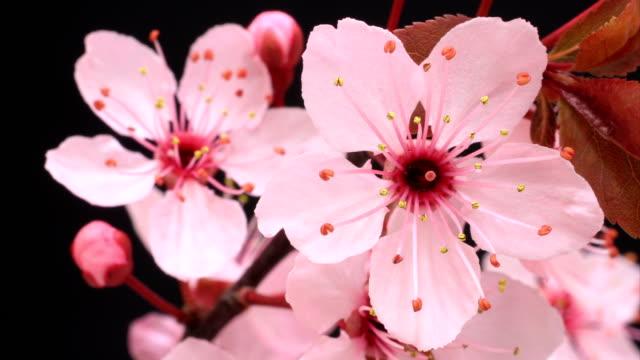 vídeos de stock e filmes b-roll de cherry blooming flowers - prunus taihaku