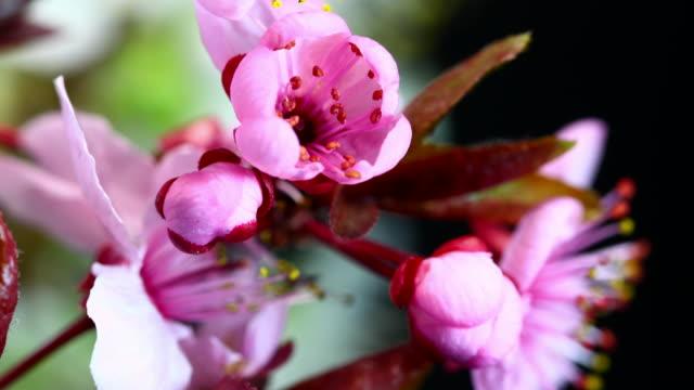 vídeos de stock e filmes b-roll de flores em florescência cereja - prunus taihaku