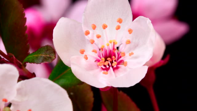 Blühende Blumen Kirsche