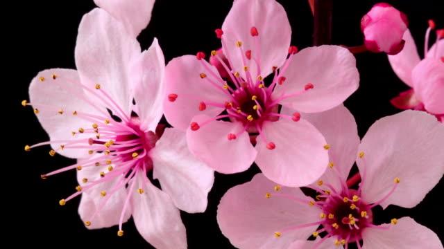 桜開花する花 - 太白桜点の映像素材/bロール