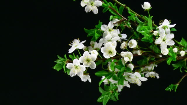 cherry blooming over black - blossom stock videos & royalty-free footage