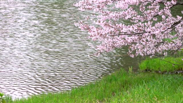 cherry blossom -4k- - pond stock videos & royalty-free footage
