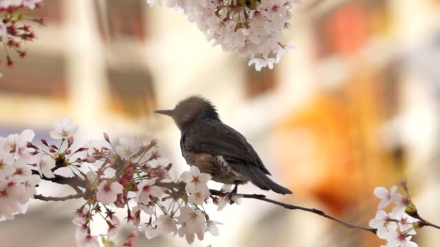 Cherry blossom and bird in Oncheoncheon