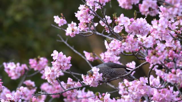 cherry blossom and bird - hamamatsu stock videos and b-roll footage